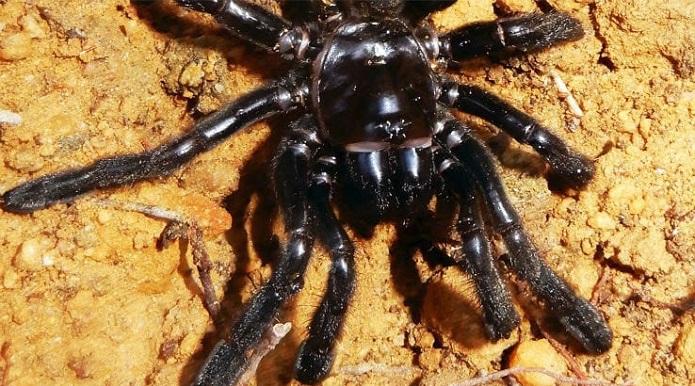 Australia, morto all'età record di 43 anni ragno più vecchio del mondo