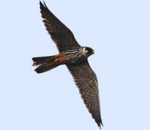 Calendario Venatorio 2020 Campania.Bracconieri Uccidono Un Raro Esemplare Di Falco La Denuncia