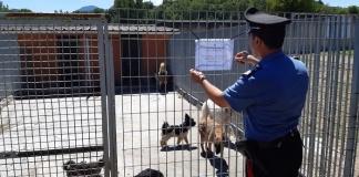 Cani in catene a San Nicola La Strada : la Forestale sequestra 12 esemplari in gravi condizioni
