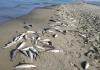 Pesci morti sulla spiaggia di Mondragone