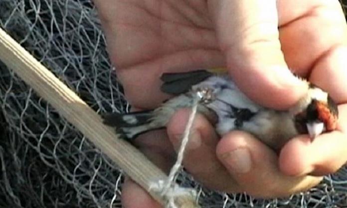Il bliz dalla Campania al Sud Italia: uccelli protetti catturati e rivenduti per affari da 350mila euro l'anno