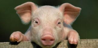 Macerata Campania, il sorteggio del maiale dopo la benedizione degli animali