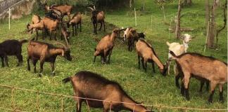 un piccolo gregge di capre camosciate