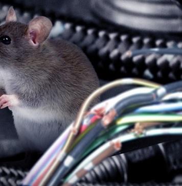 Tubi e fili elettrici dell'auto rosicchiati. Ecco come allontanare topi e martore