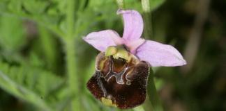 Le orchidee selvatiche dei Monti Tifatini