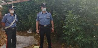 Arrestati tre coltivatori di marijuana, tra cui un percettore del reddito di cittadinanza